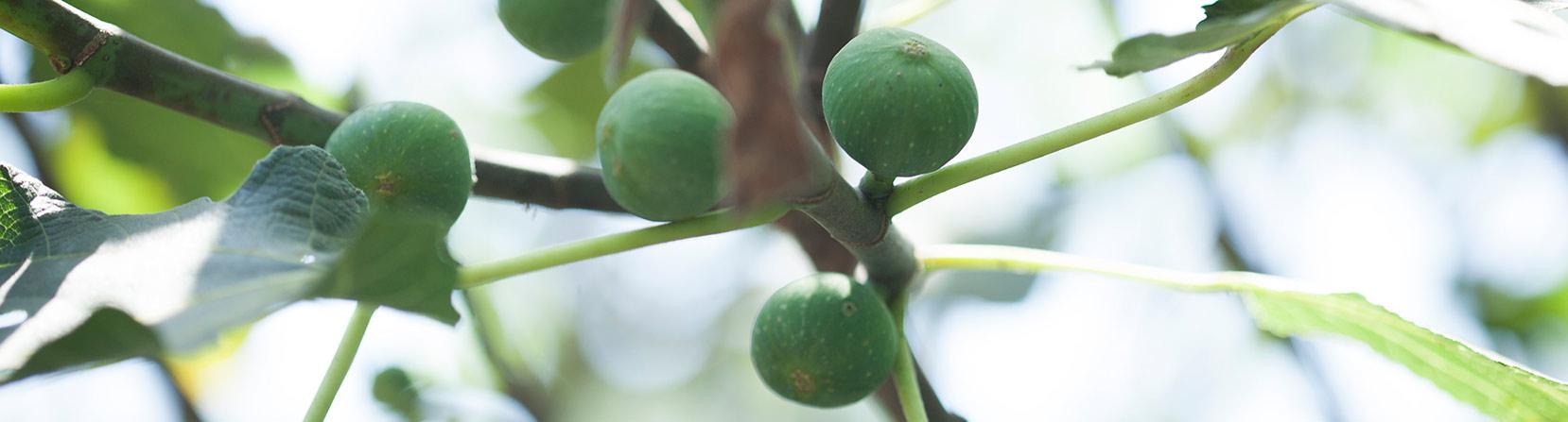 ענף תאנה